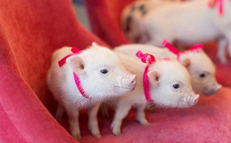 свадьба в год желтой свиньи